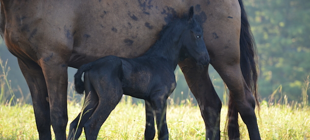 101-Horse-Friesian-Verulam