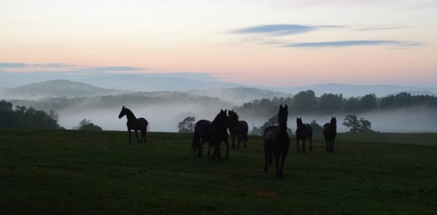 Verulam-Freisians-on-a-foggy-night