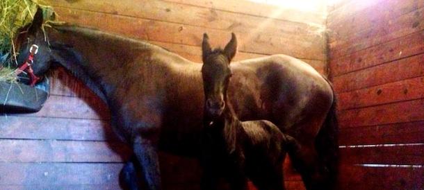 friesian-horses-in-stall