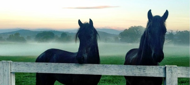 friesian-horses-with-mist