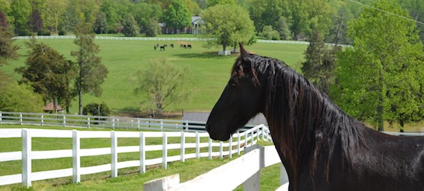 verulam-friesian-with-house-background