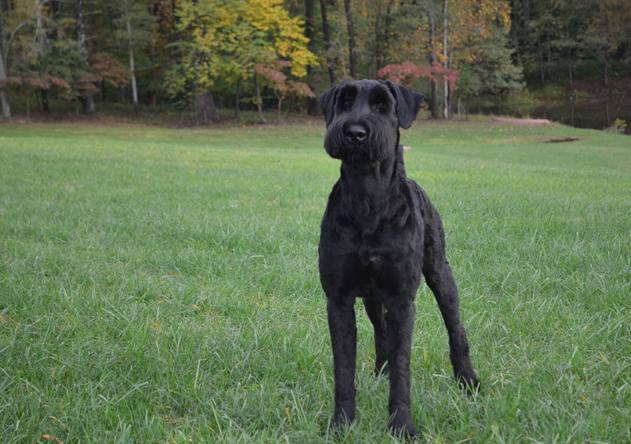 shaman-the-giant-schnauser